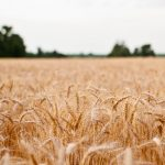 wheat-699162_640